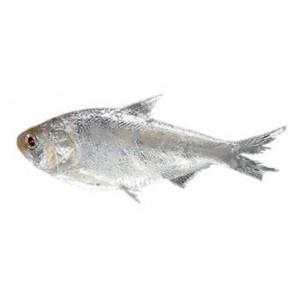 Chapila Fish Small block