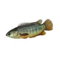 Koi Fish Pack 500g